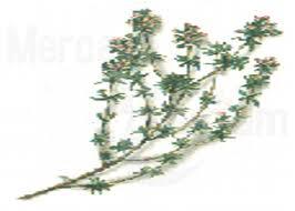 Tomillo plantas medicinales